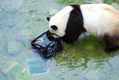 Tai Shan the panda attacks a defenseless milkcrate
